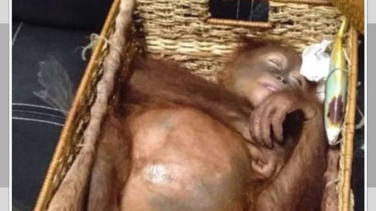 Turista ruso intentó contrabandear un orangután en Indonesia