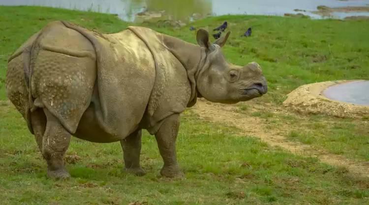 El rinoceronte de Sumatra se extingue en Malasia
