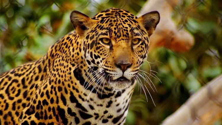 Tráfico ilegal pone en riesgo al jaguar, alertan expertos